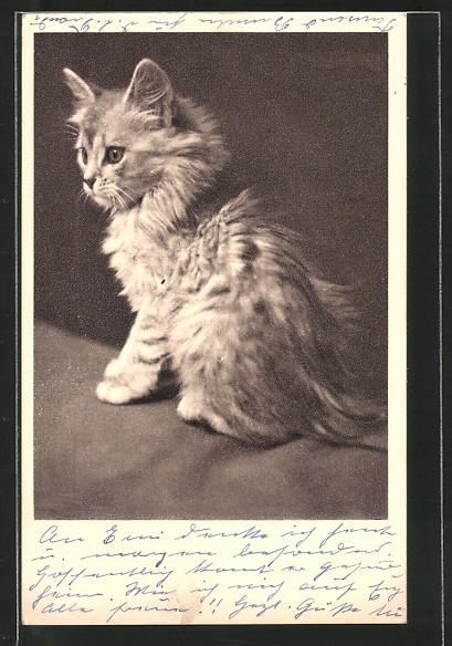 AK Tierschutzverein Wien, junge Katze mit wuscheligem Fell