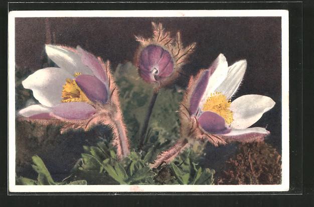 AK Blühende Pelzanemone auf einer Wiese