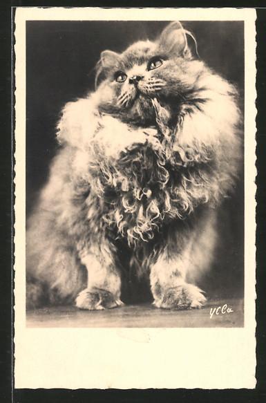 AK Langhaar-Katze mit erhabenem Ausdruck