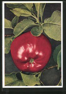 AK roter Apfel am Zweig