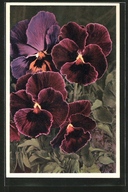 AK Viola tricolor, Stiefmütterchen