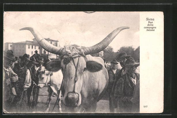 AK Siena, Bue della campagna Senese, Bauern mit einem Stier
