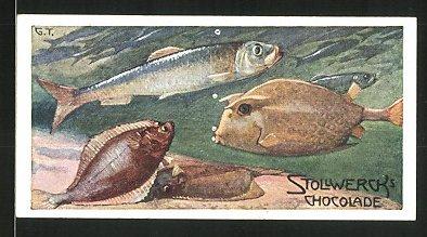 Sammelbild Stollwerck Schokolade, Le Hareng, Le Flet et le Coffre a Quatre cornes, Kugelfisch, Plattfisch, Hering