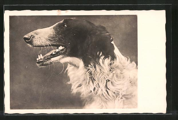 AK Windhund mit schwarz-weissem Fell