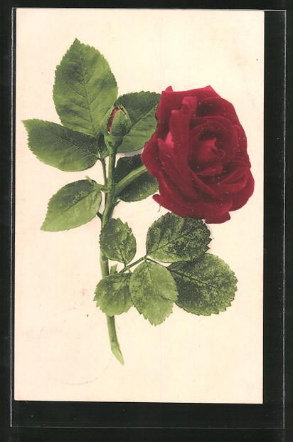 AK Motiv einer roten Rose