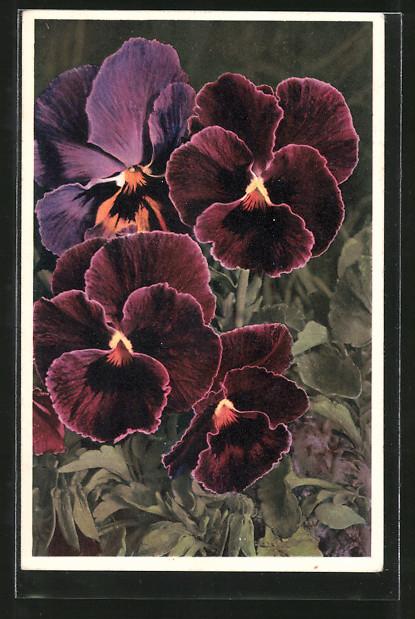 AK Stiefmütterchen, Viola tricolor, Pansy