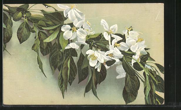 AK Blüten am Zweig eines Obstbaumes