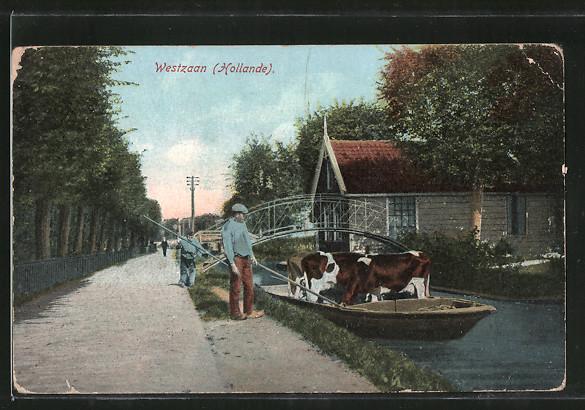 AK Westzaan, Kühe werden mit dem Boot transportiert