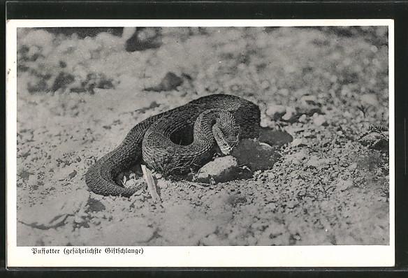 AK Puffotter, gefährlichste Giftschlange