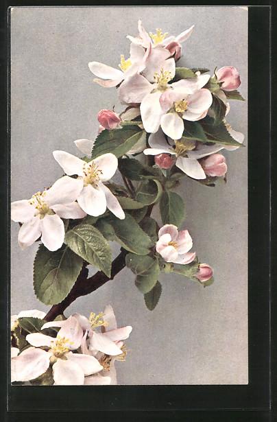 AK Wilder Apfel, Zweig mit Blüten