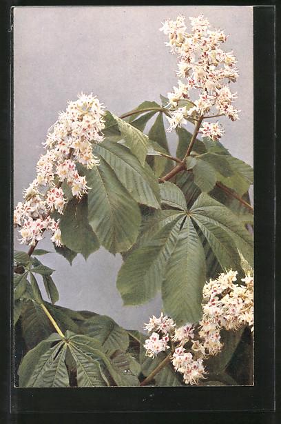AK Rosskastanie, Zweig mit Blüten