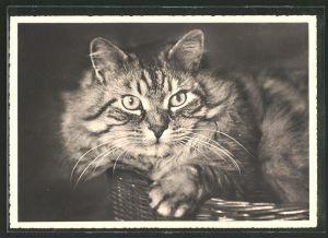 AK Getigerte Katze im Körbchen