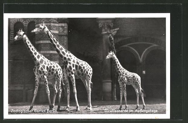 AK Berlin, Giraffenherde im Aussengehege des Zoologischen Gartens 0