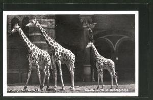 AK Berlin, Giraffenherde im Aussengehege des Zoologischen Gartens