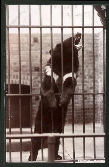 AK Bär im Gehege des Zoologischen Gartens Pretoria