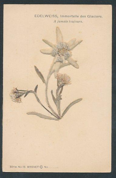Trockenblumen-AK Edelweiss, Immortelle des Glaciers