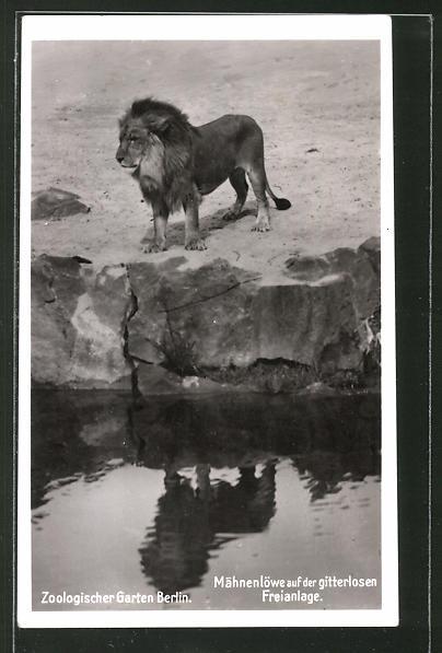 AK Berlin, Mähnenlöwe auf der Gitterlosen Freianlage des Zoologischen Gartens