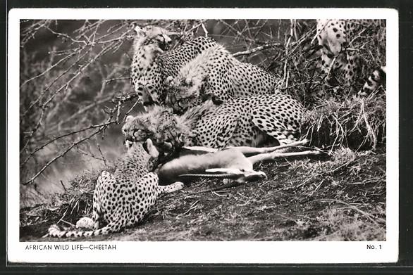 AK African Wild Life-Cheetah, Geparden fressen eine Antilope