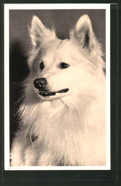 AK Spitz, Portrait eines Hundes