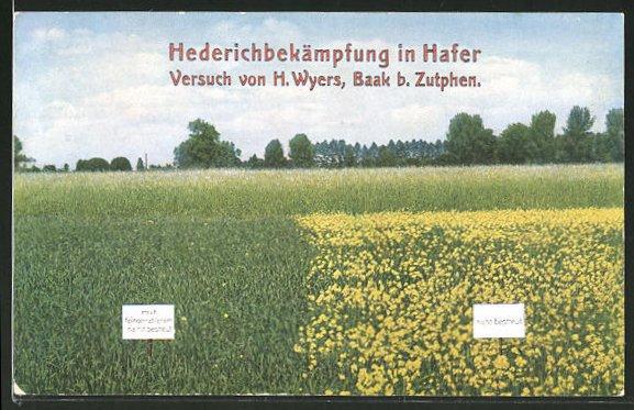 AK Baak b. Zutphen, Hederichbekämpfung im Hafer, Versuch von H. Wyers