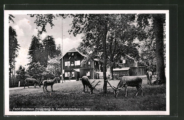 AK Nesselberg i. Thüringen, Hirsche am Forst-Gasthaus