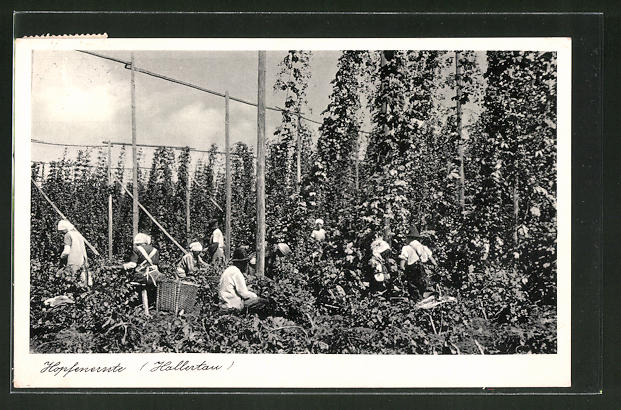 AK Freising, Bauern bei der Hopfenernte in der Hallertau