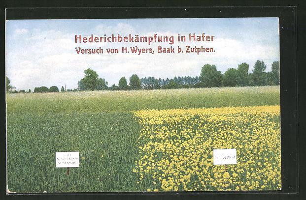 AK Hederichbekämpfung im Hafer, Versuch von H. Wyers, Baak b. Zutphen
