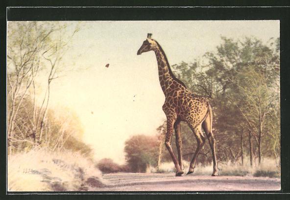 AK Krüger-Nationalpark, Giraffe