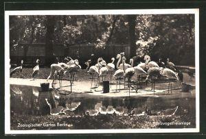 AK Berlin, Flamingos in der Stelzvogelfreianlage im Zoologischen Garten, Vogel
