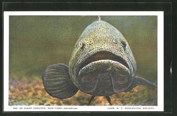 AK New York, Aquarium, Giant Grouper, Zackenbarsch