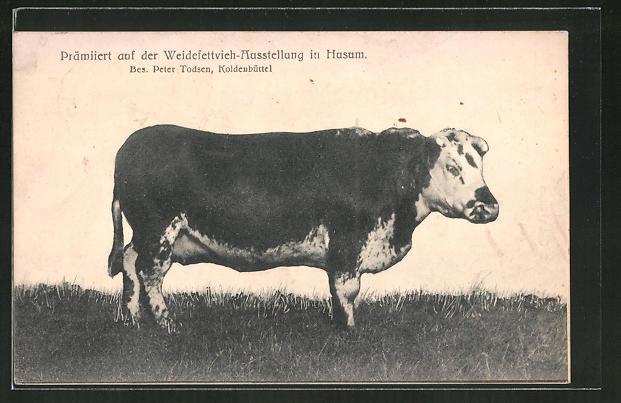 AK Husum, Weidefettvieh-Ausstellung, prämierter Stier