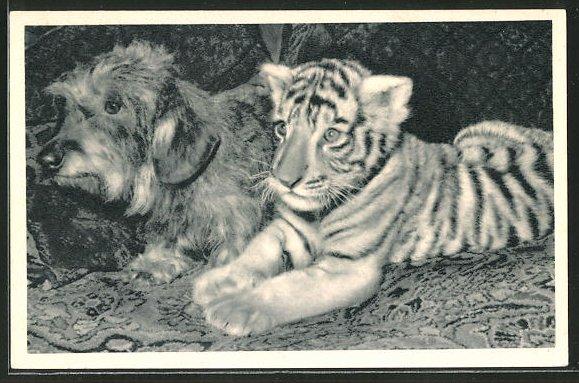 AK Hund neben einem Tiger im Zirkus