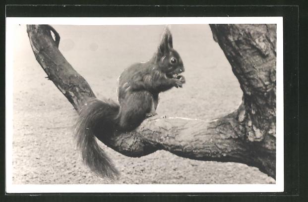 AK Knabberndes Eichhörnchen auf Ast