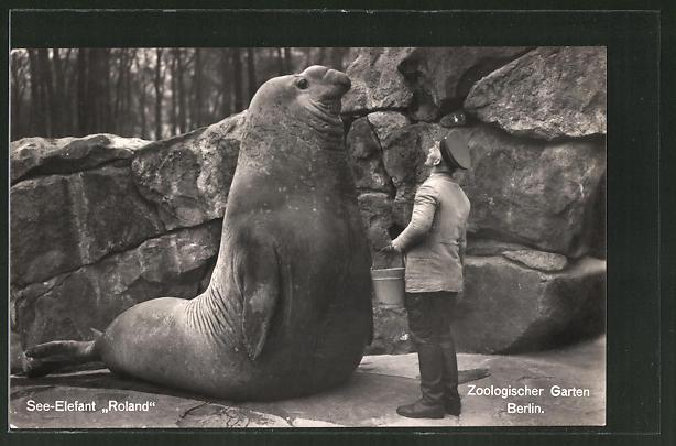 AK Berlin, Zoologischer Garten, See-Elefant Roland