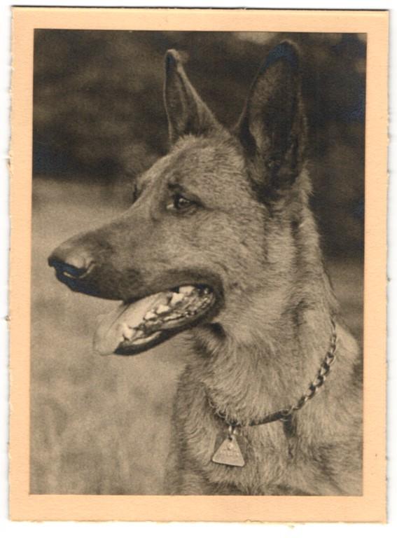 Fotografie Deutscher Schäferhund, Hund mit Halsband & Marke