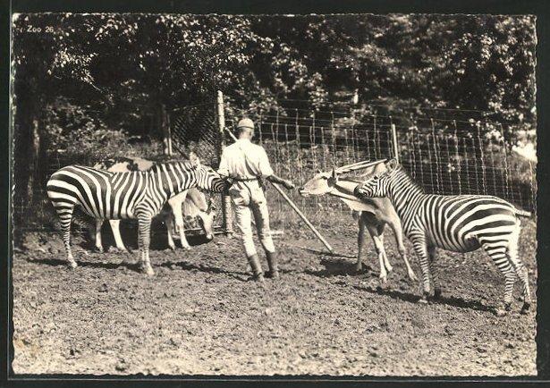 AK Zürich, Zoologischer Garten, Grevy Zebra und Elanantilopen