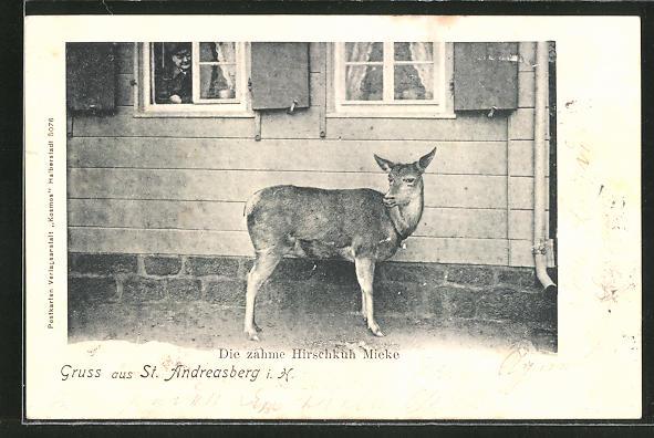 AK St. Andreasberg i. H., Zahme Hirschkuh Mieke 0