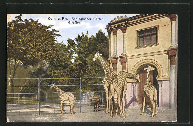 AK Köln, Zoologischer Garten, Giraffen im Freigehege