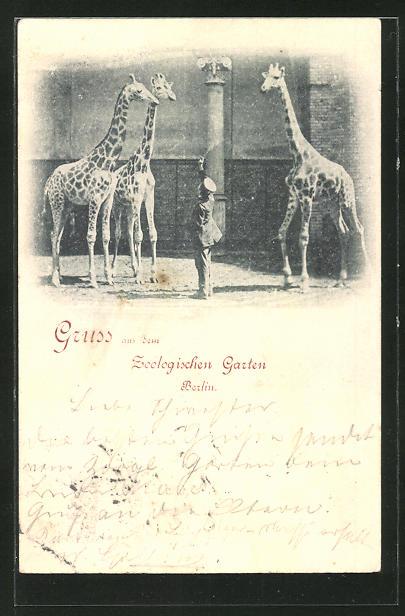 AK Berlin, Giraffen mit Tierpfleger im Zoologischen Garten