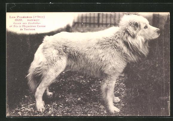 AK Chien des Pyrénées, preisgekrönter Pyrenäenberghund