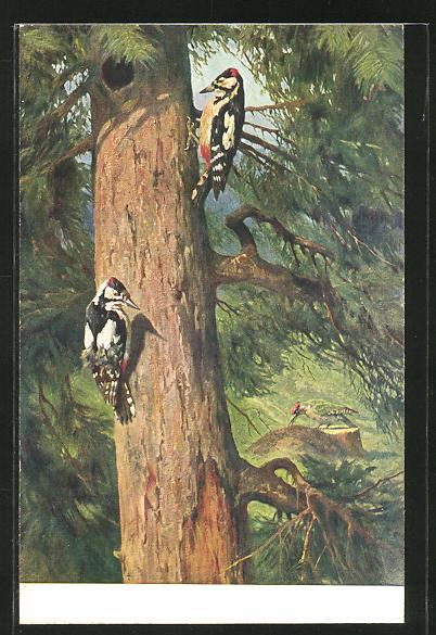 AK Buntspechte sitzen an einem Baumstamm