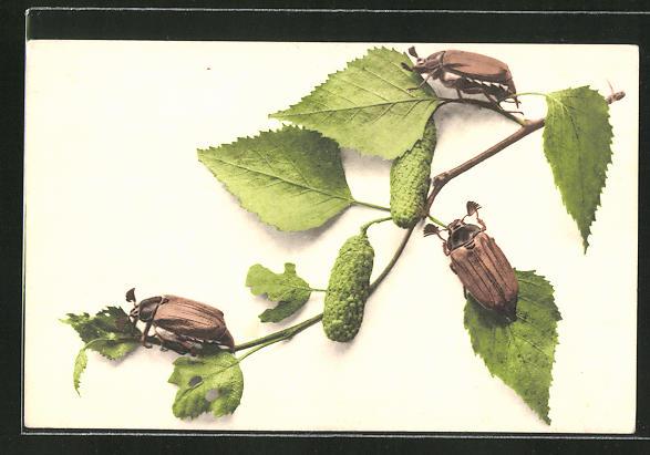 AK drei Maikäfer krabbeln auf einem Birkenast herum