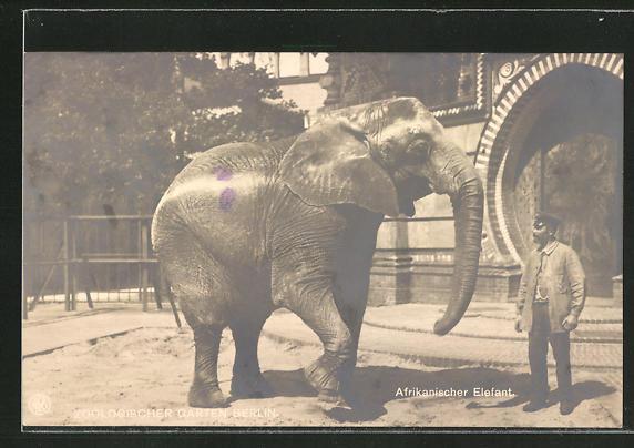 AK Berlin, Zoologischer Garten, Afrikanischer Elefant
