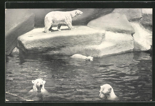 AK Nürnberg, Tiergarten, Eisbären