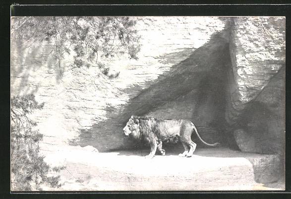 AK Nürnberg, Tiergarten, Löwe Othello in seiner Schlucht