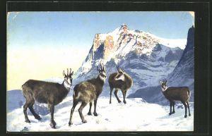 AK Gämsen im verschneiten Gebirge