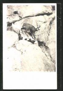 AK Gemse am steilen Hang in den Bergen