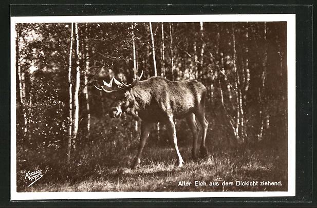 Foto-AK Alter Elch zieht aus dem Dickicht