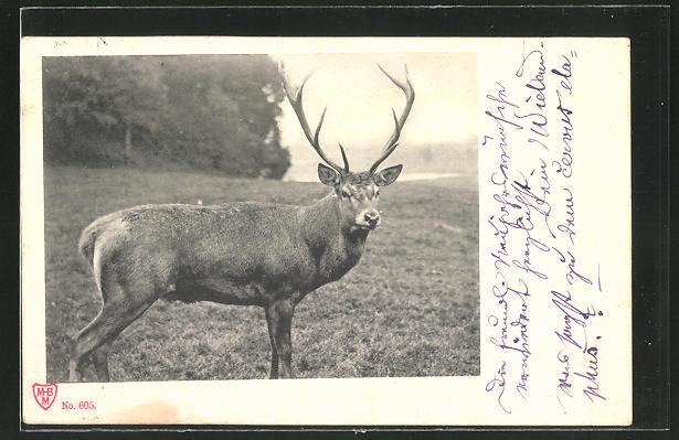 AK Hirsch auf einer Wiese am Waldesrand