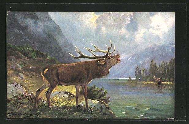 Künstler-AK M. Müller jun.: röhrender Hirsch am See